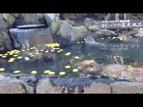 伊豆シャボテン動物公園 レモン温泉露天風呂のカピバラさん①
