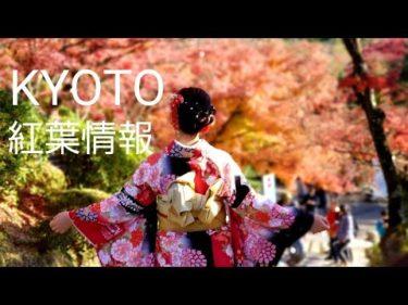 KYOTO 京都の紅葉狩り  外国人観光客で大混雑 It's leaf peeping season in Kyoto   เกียวโตะ